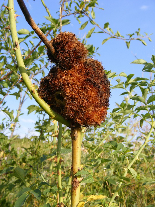 Attacked, Disease, Fungus, Rose, Rust, Stem, Plants