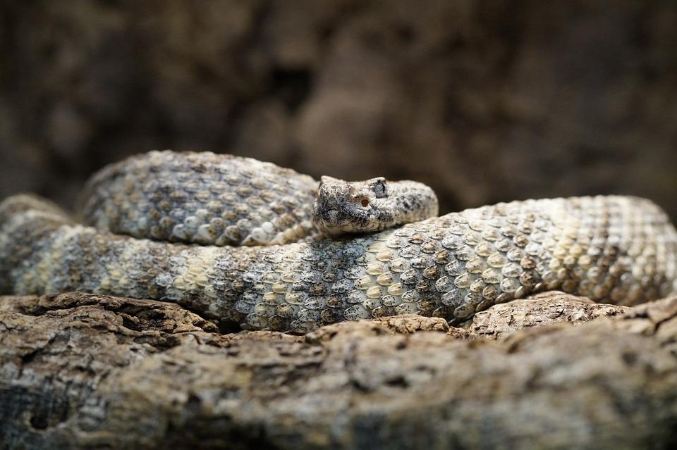 Rattlesnake, Disguised, Camouflage, Pattern, Snake