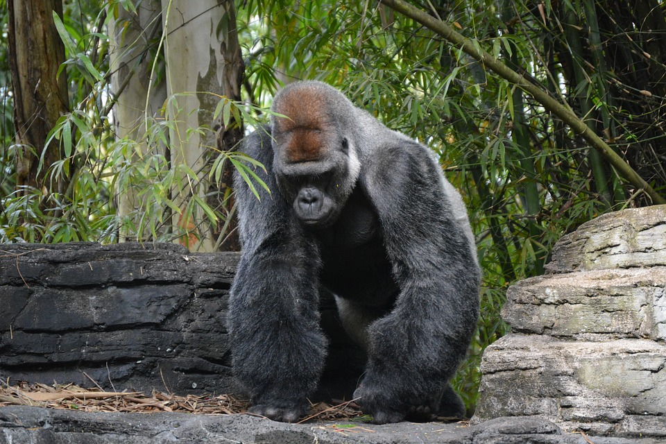 Disney, Gorilla, Animal, Jungle, Forest, Rocks