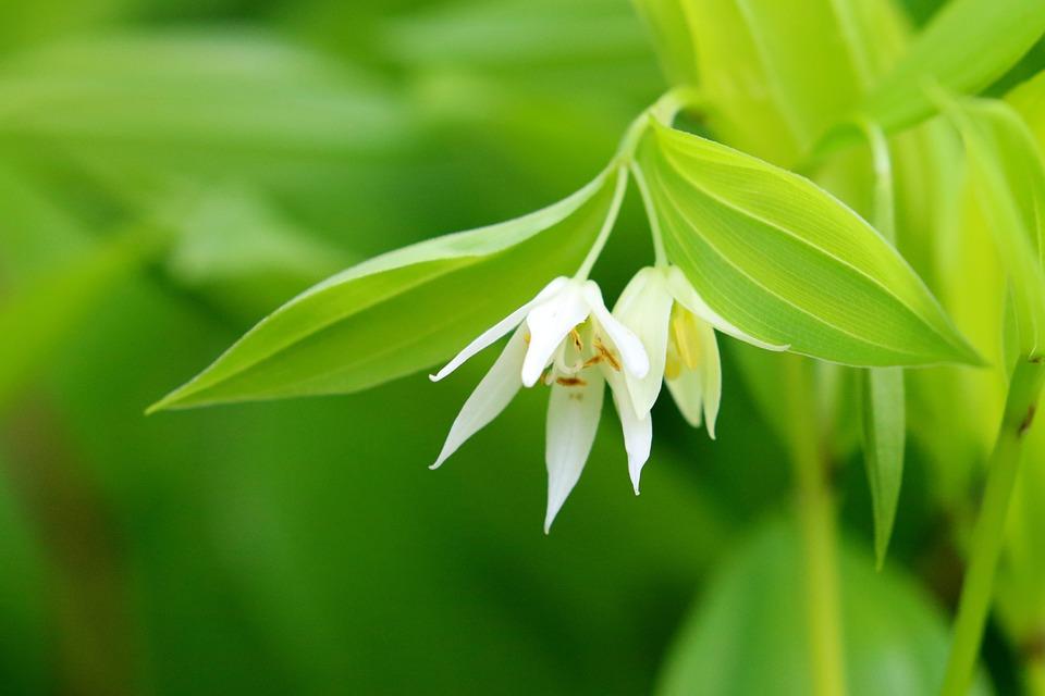 Disporum, Flowers, Plant, White Flowers, Petals, Bloom