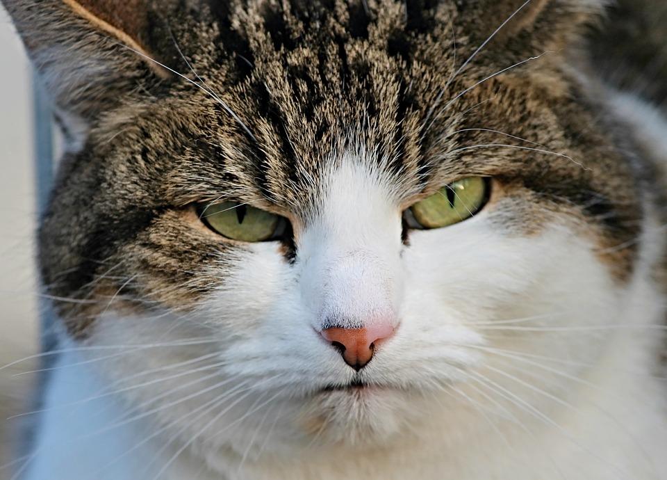 Cat, Grumpy, Bad Mood, Disturb, Portrait, Close