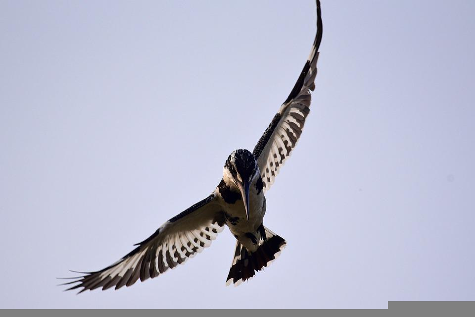 Pied Kingfisher, Kingfisher, Bird, Hovering, Diving