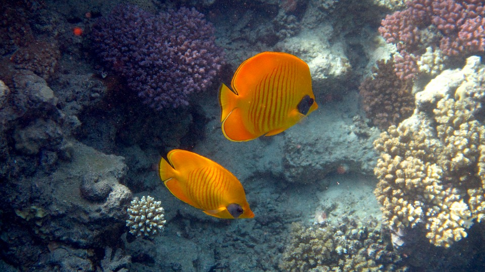 Fish, Red Sea, Coral, Sea, Underwater, Egypt, Diving
