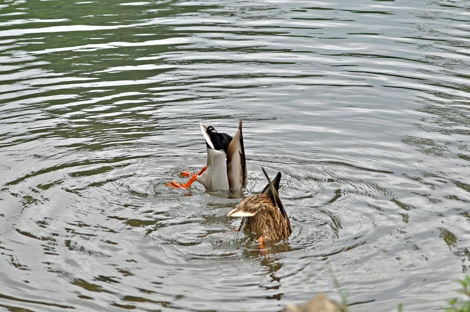 Ducks, Water, Animal, Fun, Fishing, Diving