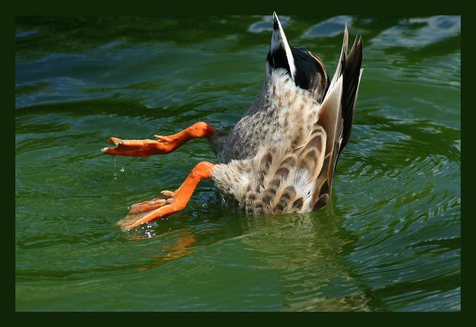 Duck, Bird, Pintail, Pintail Duck, Diver, Diving