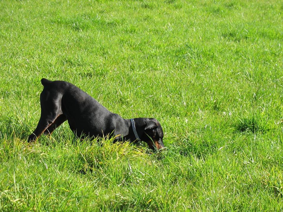 Dog, Doberman, Meadow, Dog Searches, Dog Digs