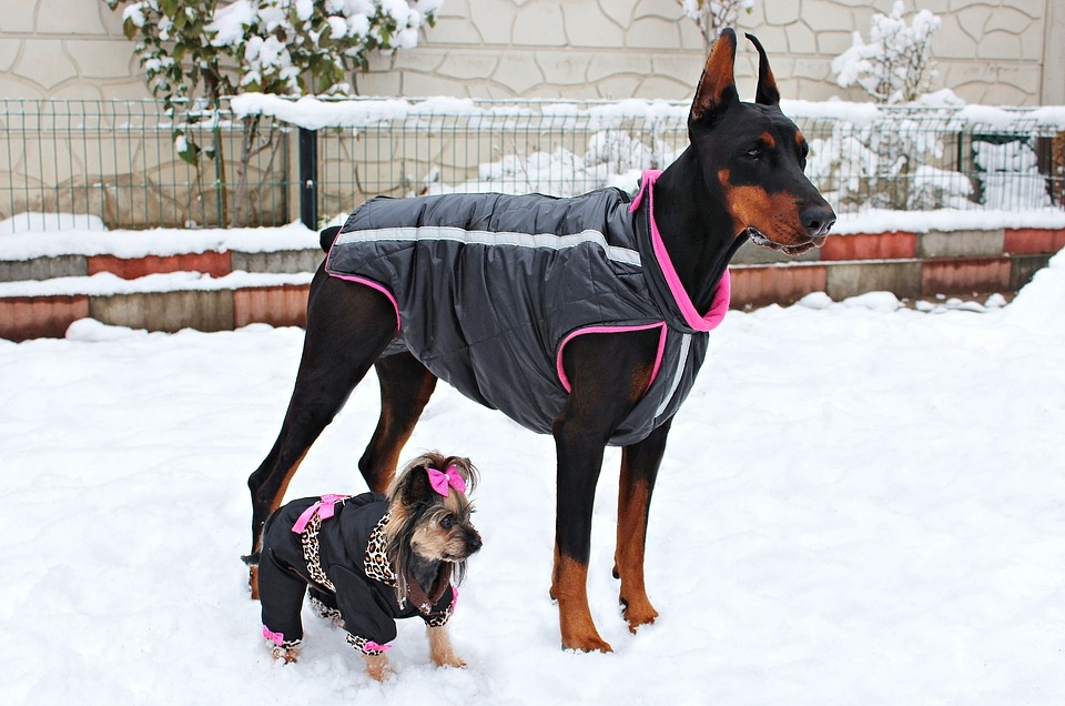 Doberman, York, Yorkie, Dogs, Friendship, Animal, Snow