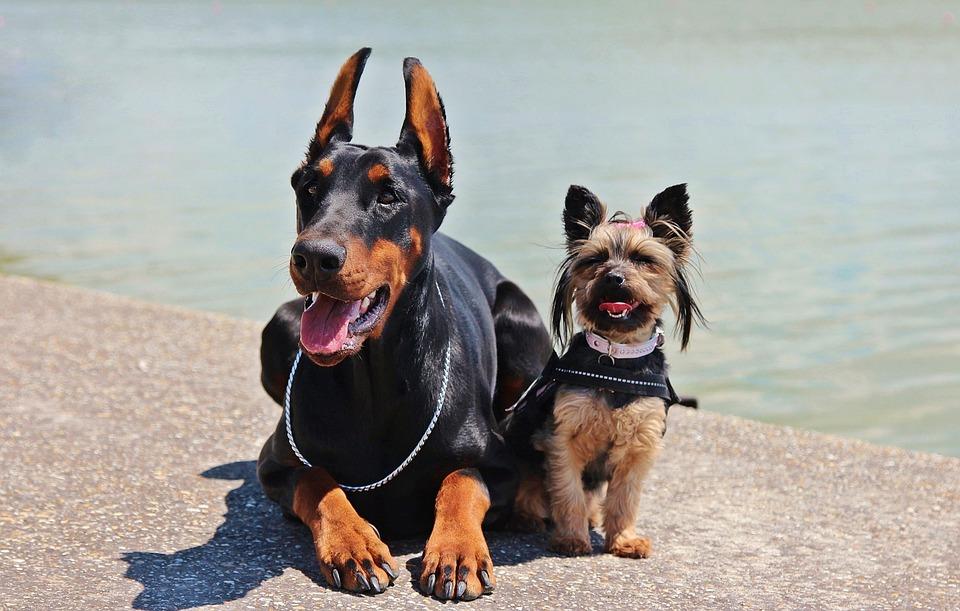 Doberman, Yorkie, Dogs
