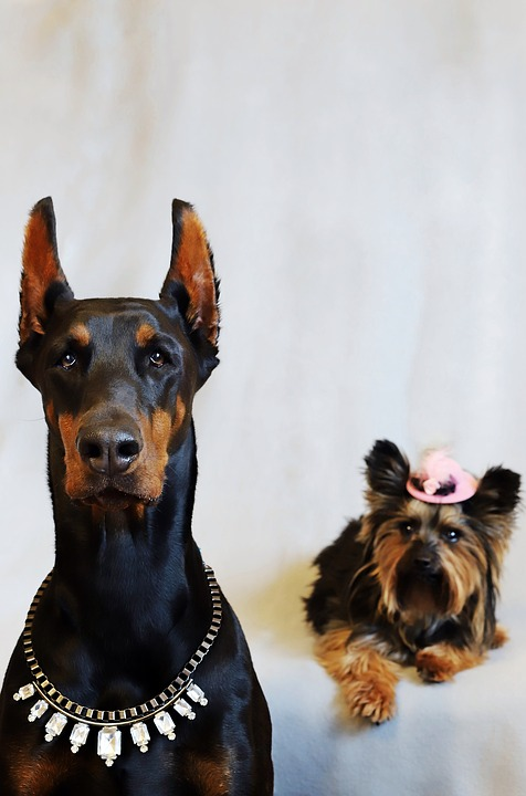 Doberman, Yorkshire Terrier, Dogs, They Are Nice