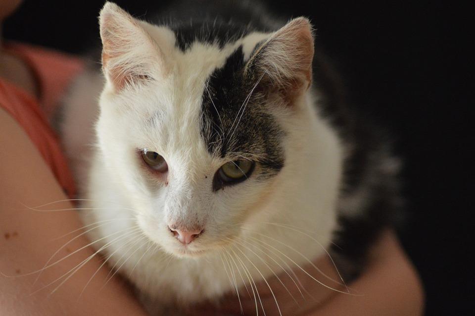 Animal, Cat, Feline, White, Black, Male, Docile, Hair