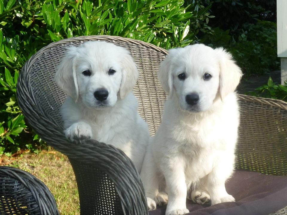 Golden Retriever, Puppy, Dog, Pets, Adorable