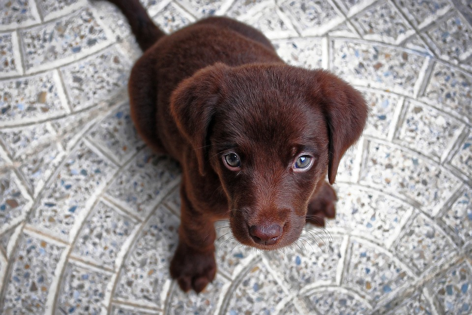 Puppy, Dog, Cute, Pet, Animal, Canine, Adorable, Small