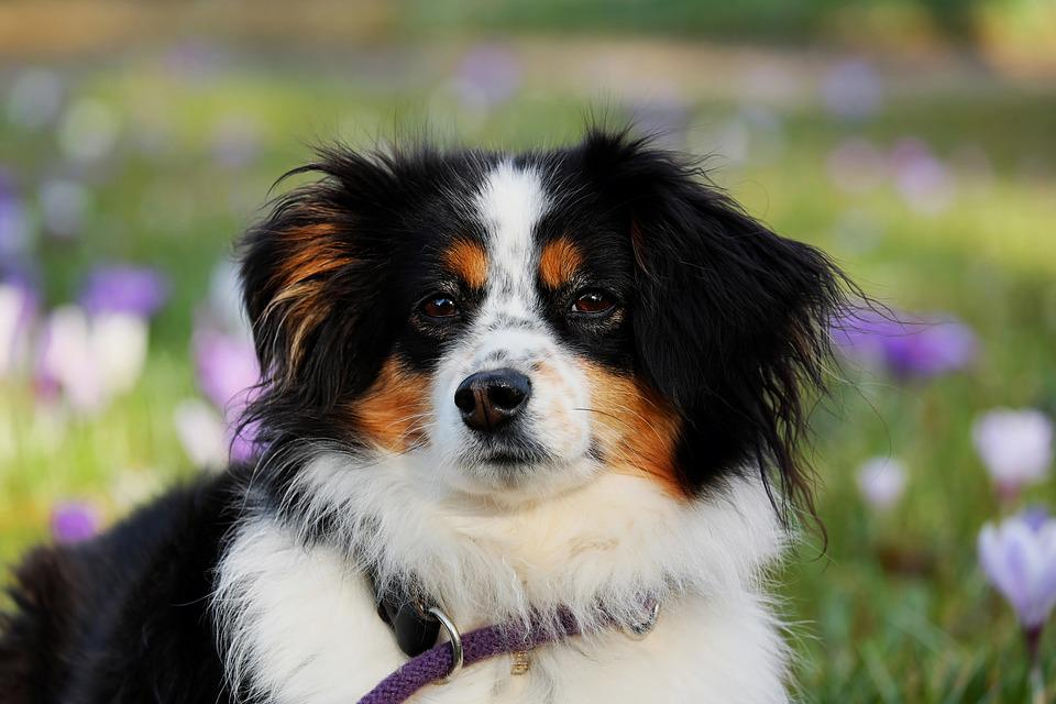 Australian Shepherd, Dog, Animal, Herding Dog