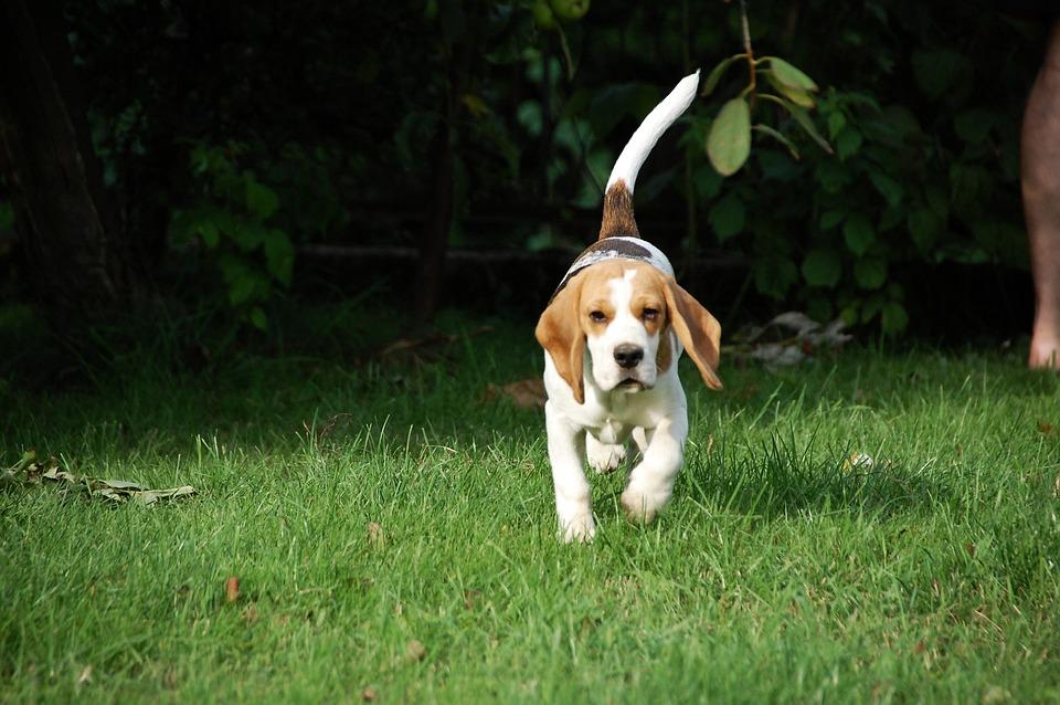 Dog, Puppy, Beagle, Doggy, Animal, Breed, Bigel