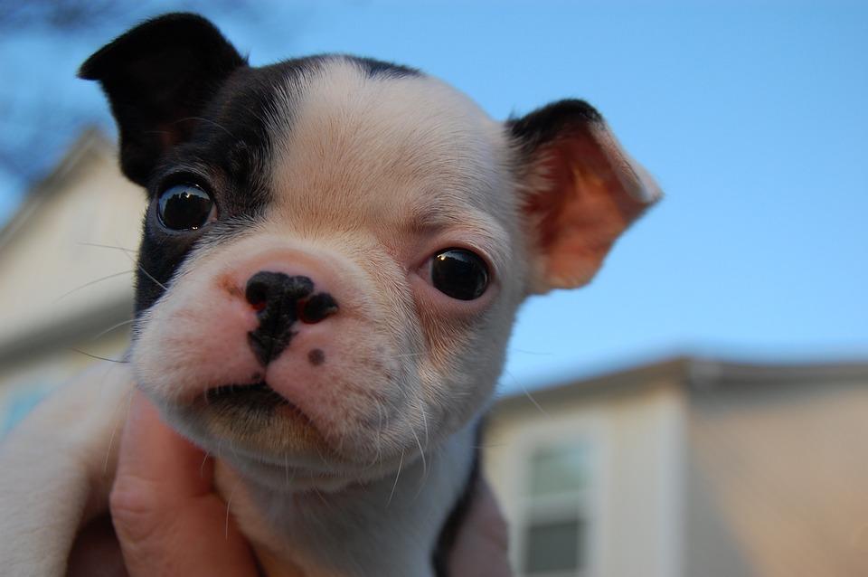 Popular Papillon Canine Adorable Dog - Dog-Animal-Cute-Cute-Puppy-Puppy-Pet-Canine-1601232  Snapshot_948685  .jpg