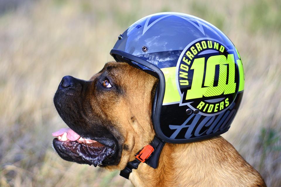 Riders, Dog, Animal, Cute, Puppy, Funny, Mammal, Head