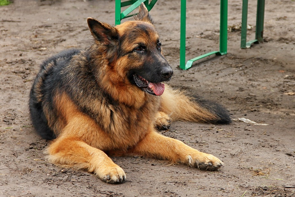 Dog, Schäfer Dog, Is, Animal, Rest