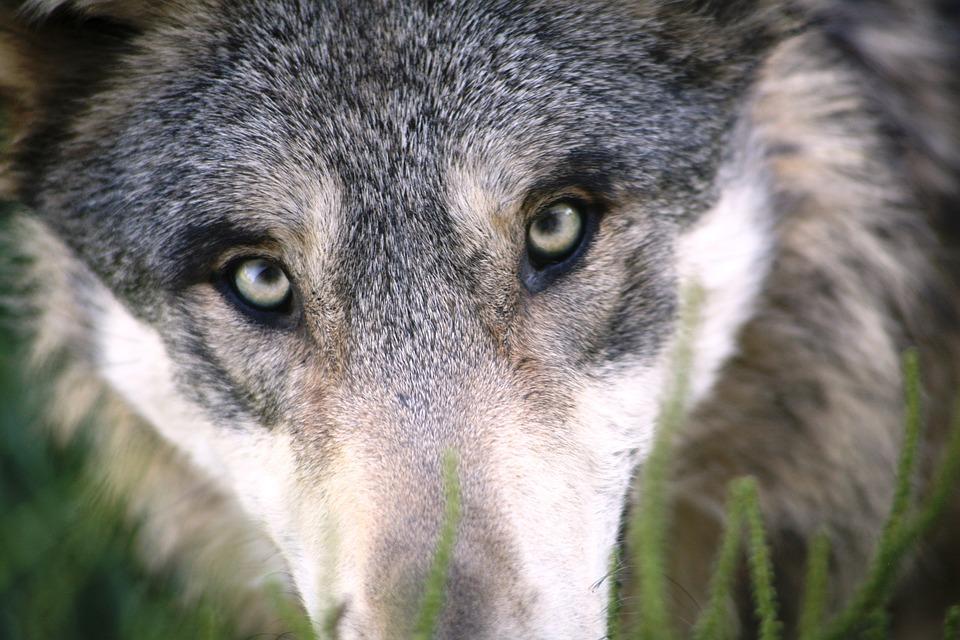 Wolf, Animal, Dog, Mammal, Wild Animal, Canine