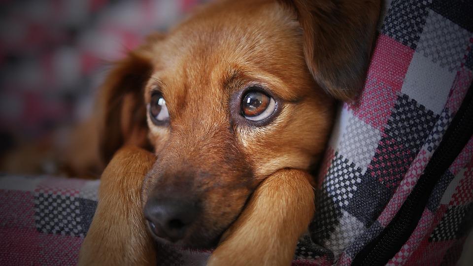Dog, Cute, Animal, Pet, Puppy, Looking