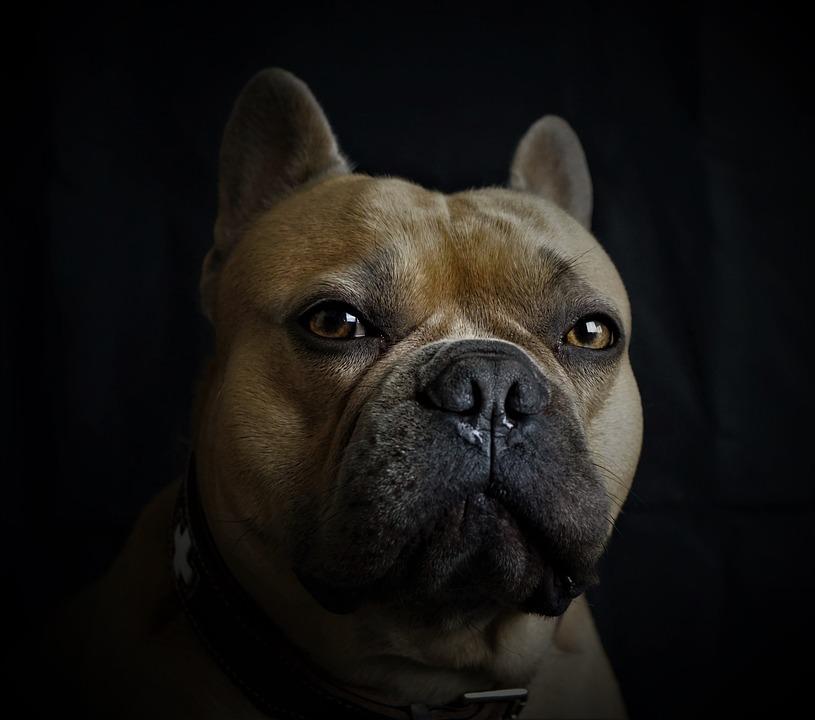 French Bulldog, Dog, Portrait, Animal Portrait