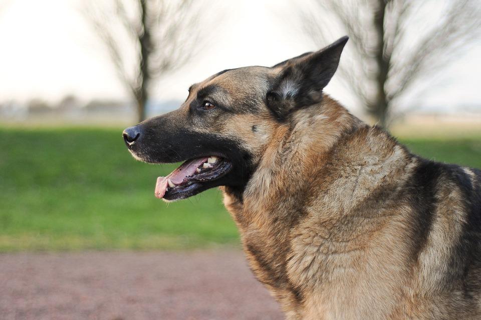 Dog, German Shepherd, Animal, Profile