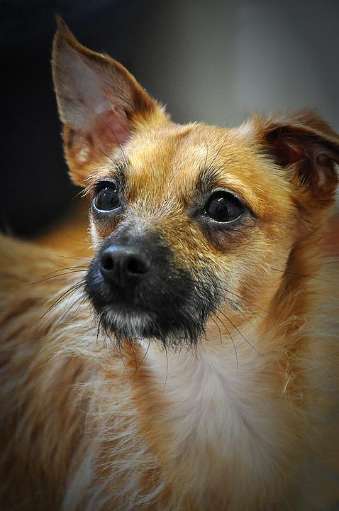 Chihuahua, Dog, Animals, Pets, Animal Welfare