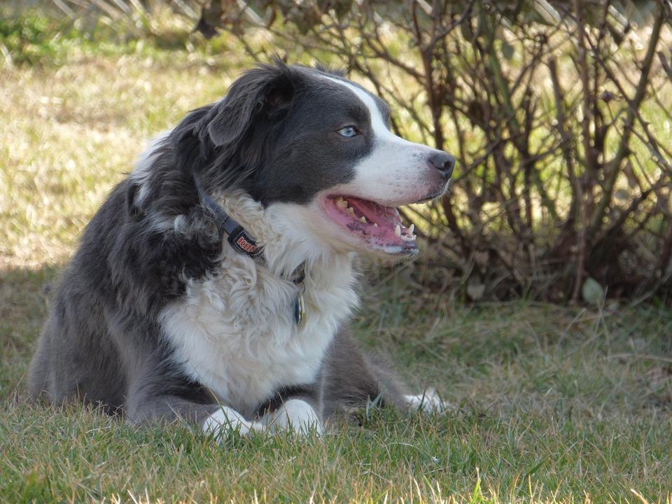 Border Collie, Australian Shepherd, Dog, Australian