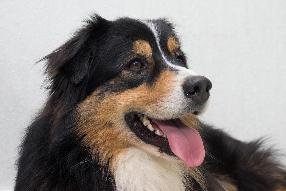 Dog, Australian Shepherd, Cheerful