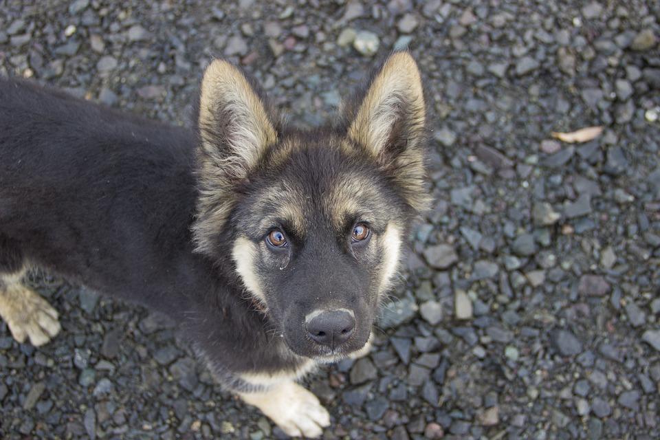 Puppy, German Shepherd, Animals, Dog, Beast