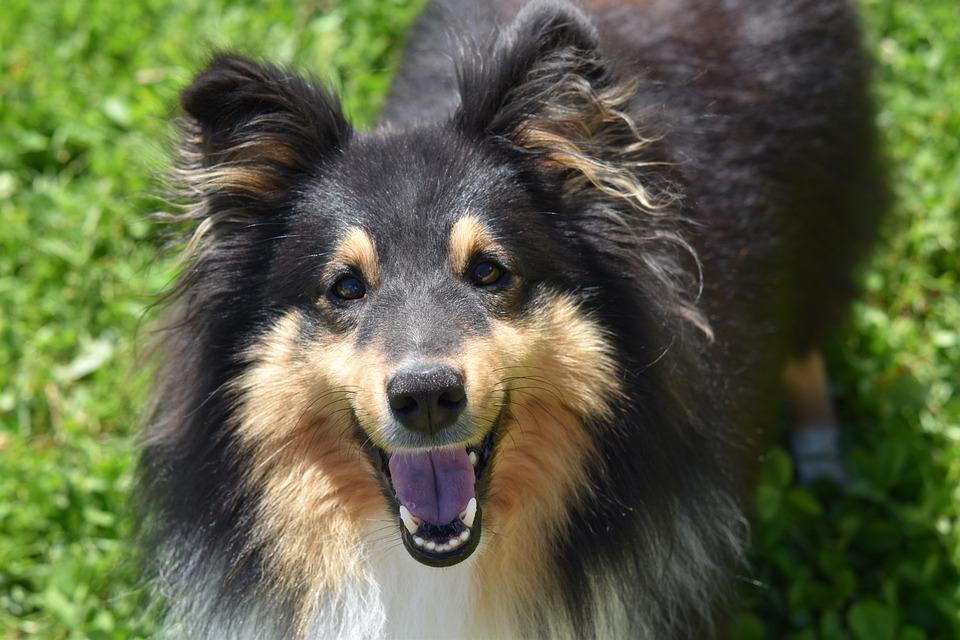 Dog, Dog Berger Shetland, Dog Me Love, Color Tri-color