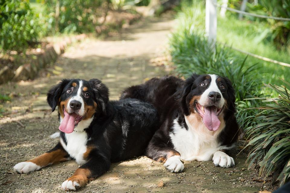 Animal, Dog, Bernese Mountain Dog