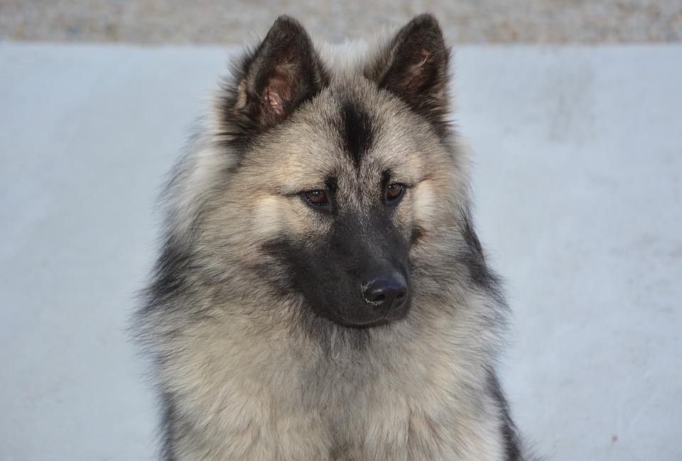 Dog, Bitch, Dog Eurasier, Eurasier Christmas