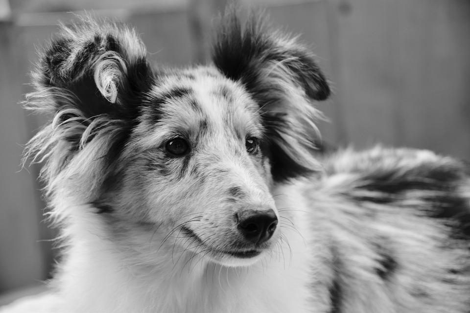 Dog, Bitch Shetland Sheepdog