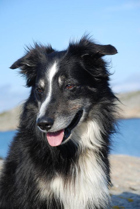 Dog, Border Collie, Black And White