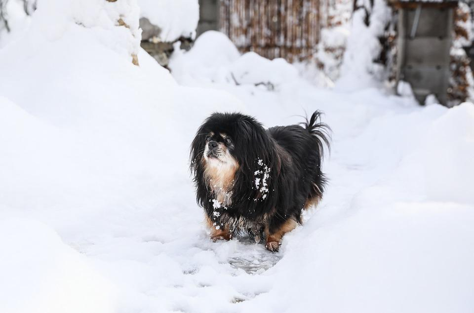 Dog, Dog In The Snow, Tibetan Spaniel, Black Dog