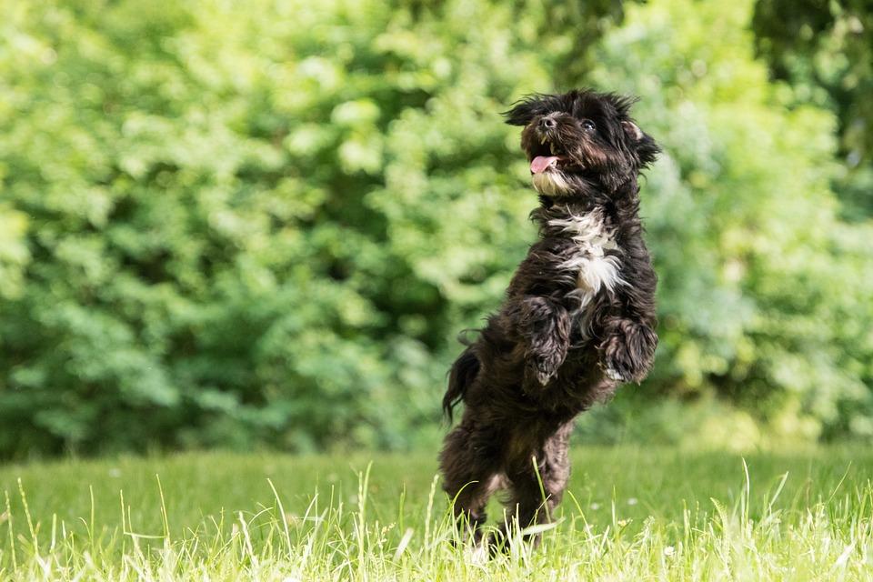 Dog, Play, Jump, Hybrid, Black