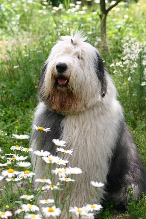 Dog, Bobtail, Chamomile, Outdoors