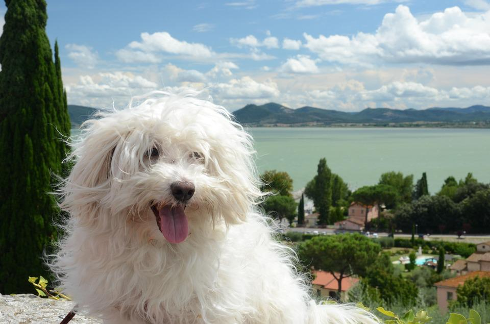 Dog, Hairy, White, Maltese, View, Bolognese, Trasimeno
