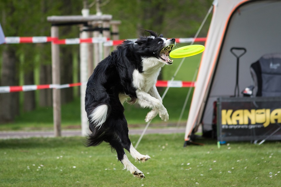 Dog, Frisbee, Motion Recording, Nature, Border Collie