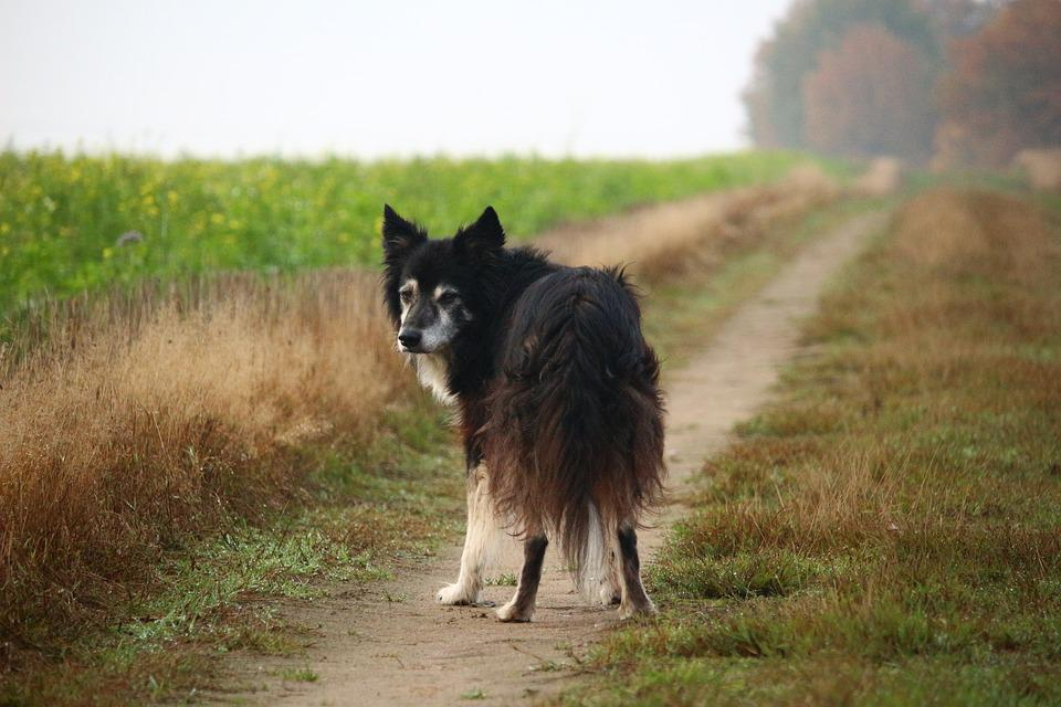 Border Collie, Dog, Herding Dog, Purebred Dog, Border