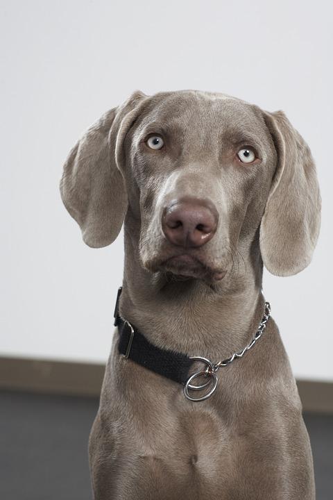 Dog, Pet, Canine, Breed, Purebred, Weimaraner, Cute Dog