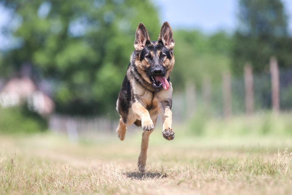 Dog, Schäfer Dog, Race, Fast, Dog Breed, Gallop, Ears