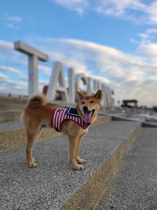 Shiba Inu, Dog, Pet, Dog Breed, Purebred, Canine