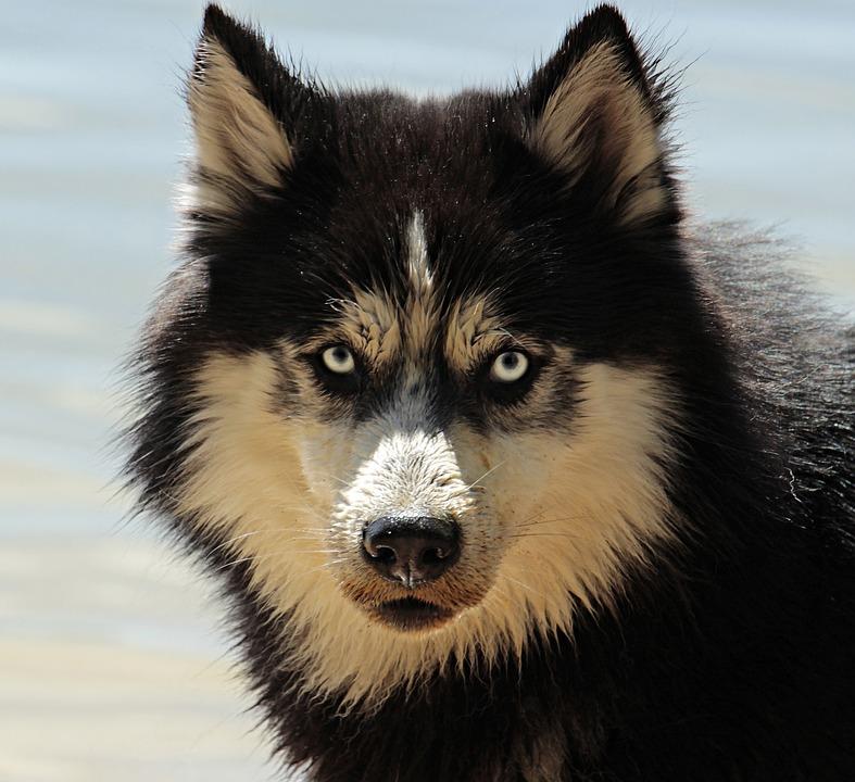 Husky, Dog, Dog Breed, Animal, Sled Dog, Snow Dog