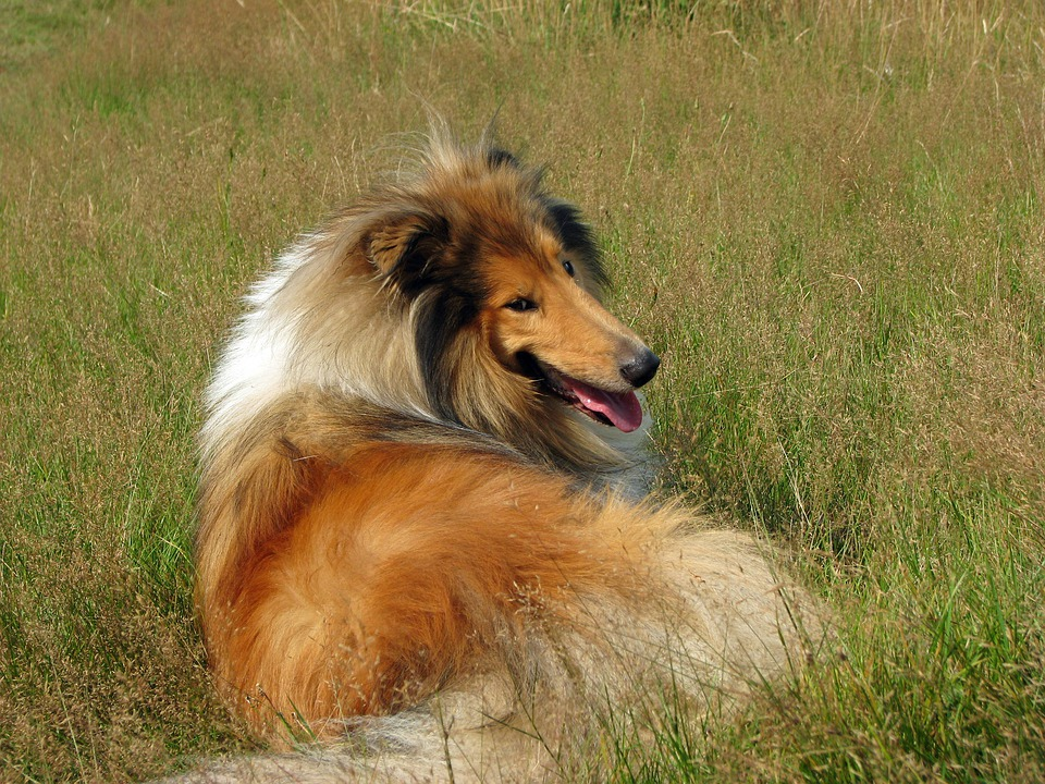 Rough Collie, Dog, Collie, Canine, Pet, Animal, Breed