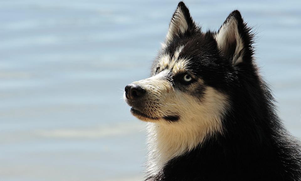 Husky, Dog, Dog Breed, Siberian Husky, Animal, Sled Dog