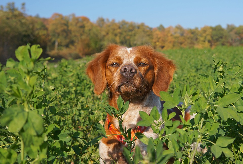 Dog, Spaniel, Hunting, Nature, Canine, Animal, Breton