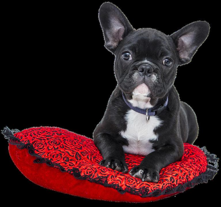 Isolated, Bulldog, Dog, French, Pet