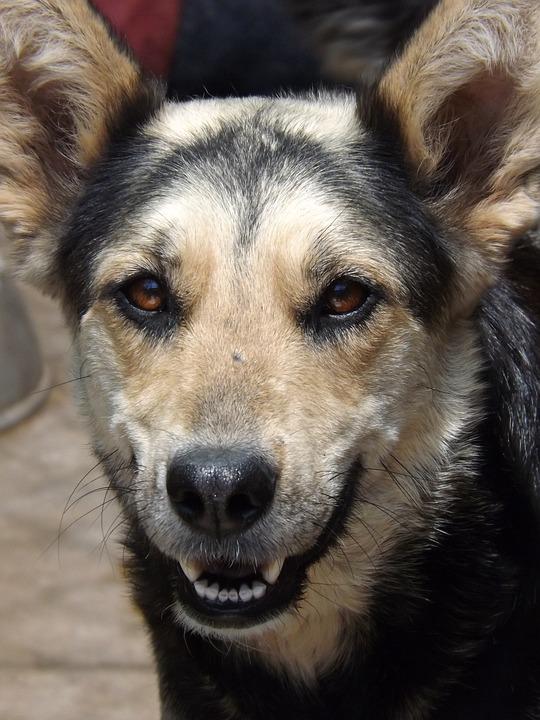 Dog, Canine, Pet, Animal, Adorable, Happy