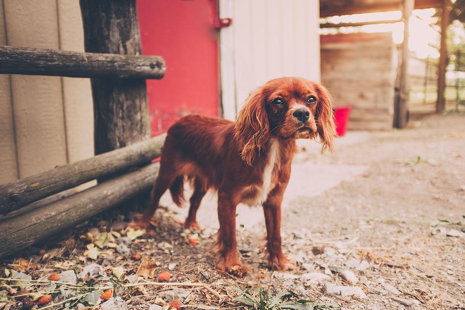 Animal, Canine, Cute, Dog, Domestic Animal, Pet